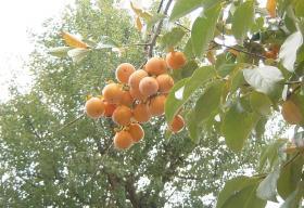 この柿は誰のもの??1