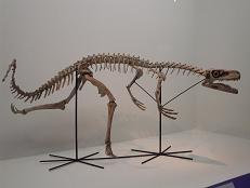 スタウリコサウルス 全身 B7