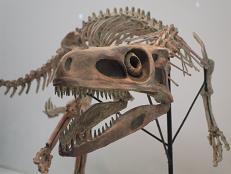 スタウリコサウルス B7