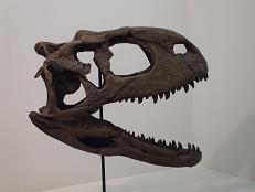 ラジャサウルス 頭部 B7