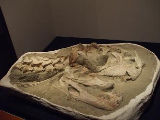 マジュンガサウルス 実物 B10