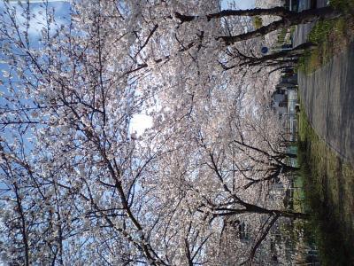 この桜を見てくれ、如何思う?