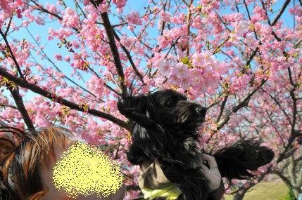 なっちゅと桜