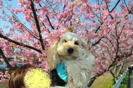 あずきと桜