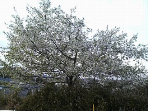 2009032818020000yamazakura.jpg