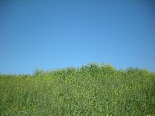荒川の土手菜の花