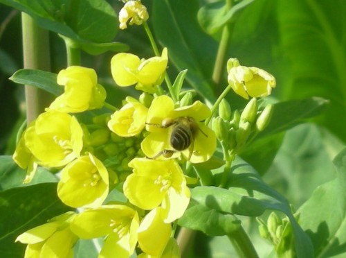 荒川の土手菜の花ハチb