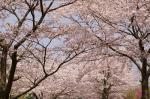4月朽木 (30)