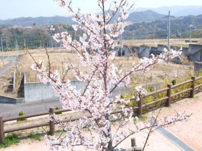 9.04.06桜