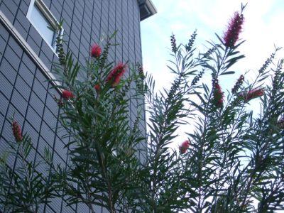 9.05.18ブラシの木
