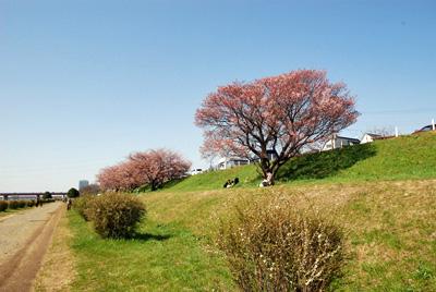 春っぽい多摩川