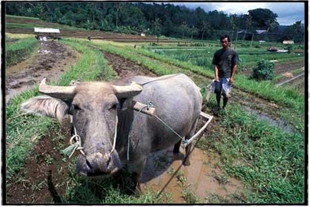 cow19-0099.jpg