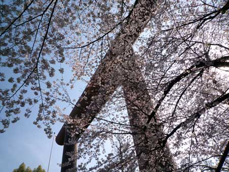 sakura8P1000578.jpg