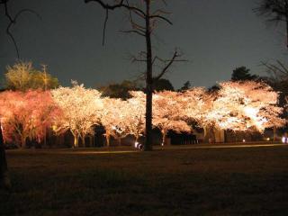 2008sakura003