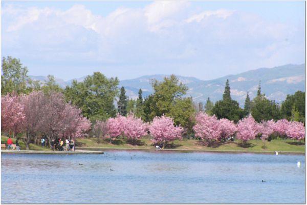 Sakura 0315 3