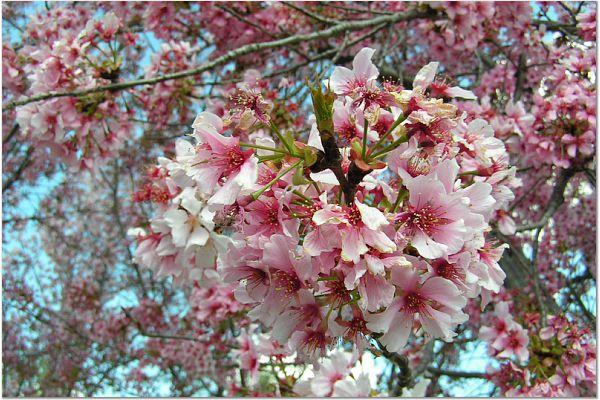 Sakura 0315 13