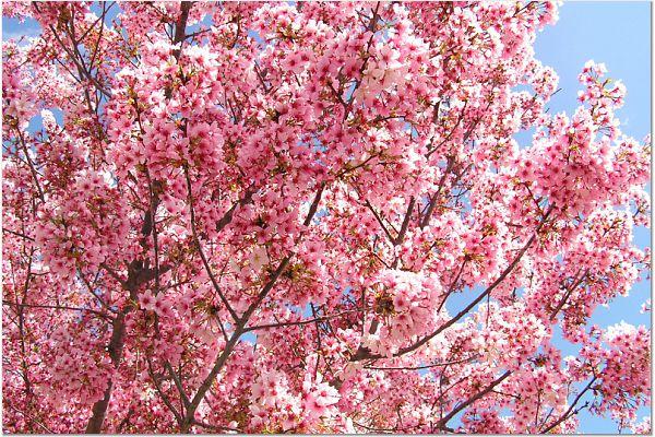 Sakura 0315 19
