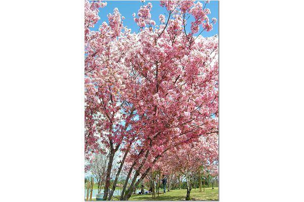 Sakura 0315 20