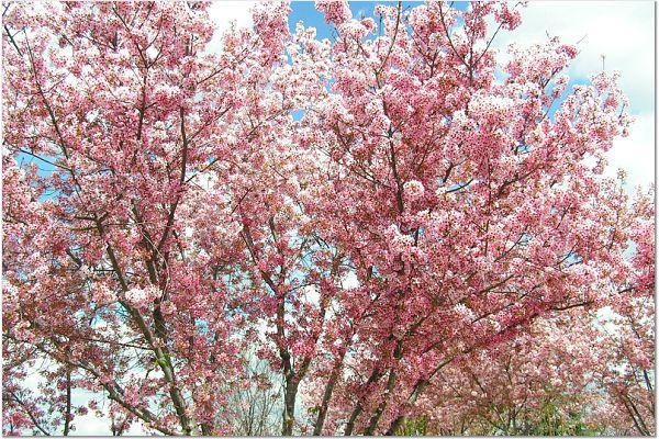Sakura 0315 28