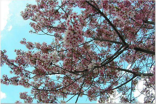 Sakura 0315 32