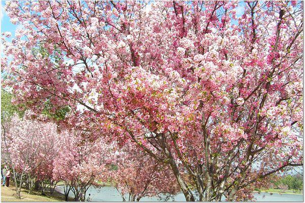 Sakura 0315 63