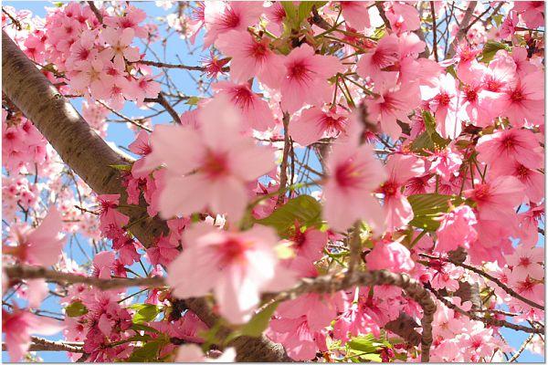 Sakura 0315 65