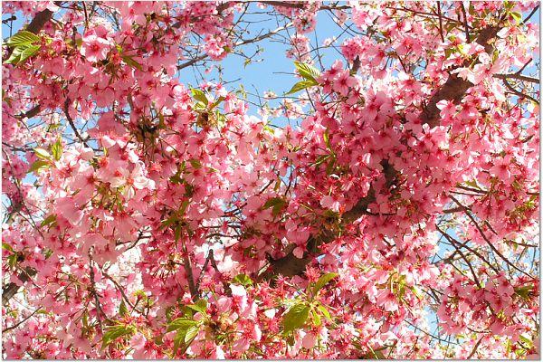 Sakura 0315 67