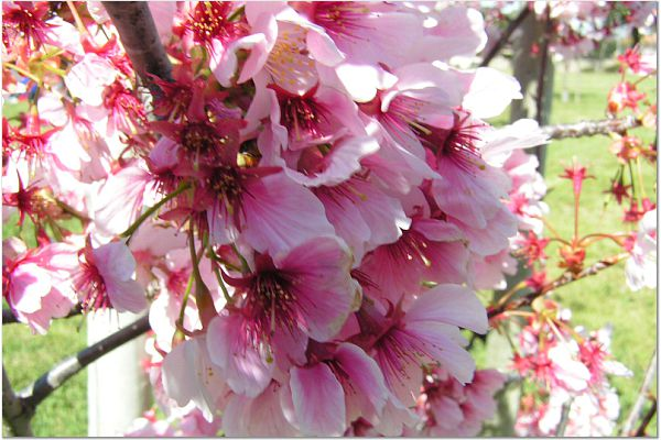 Sakura 0319 1