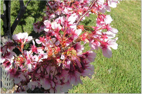 Sakura 0319 3