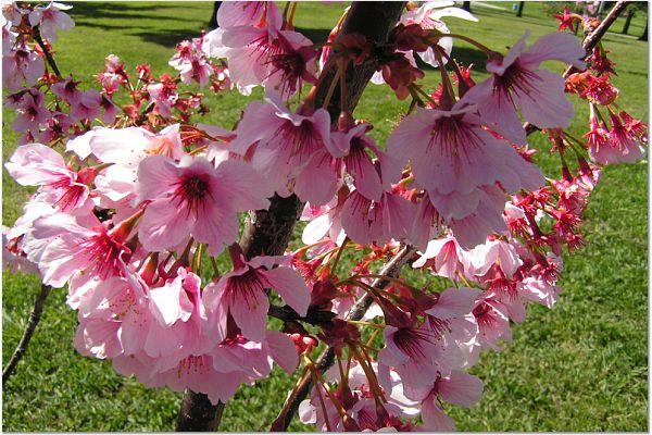 Sakura 0319 5