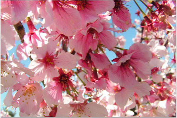 Sakura 0319 15