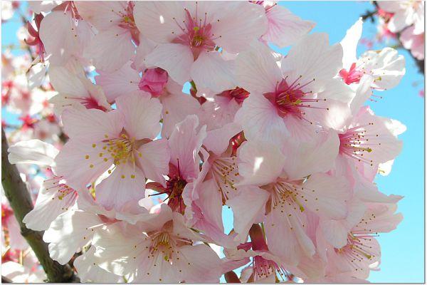 Sakura 0319 16