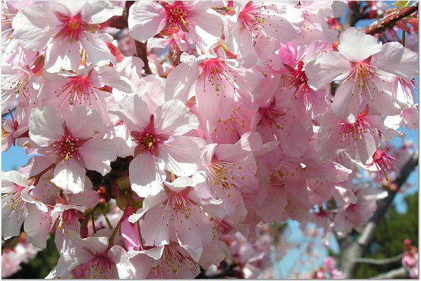 Sakura 0319 17