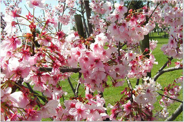 Sakura 0319 19