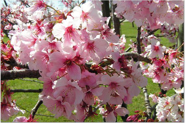 Sakura 0319 21