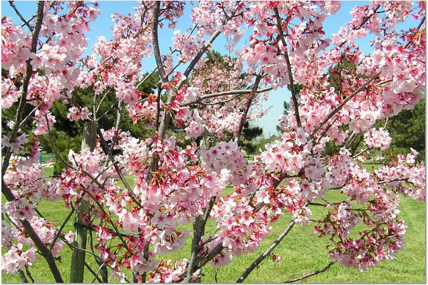 Sakura 0319 23