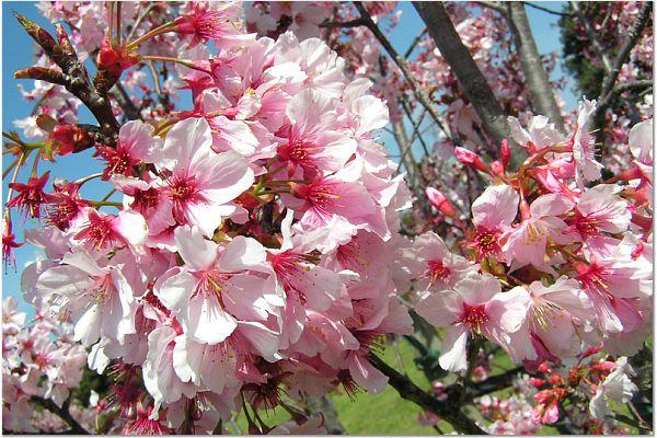 Sakura 0320 2