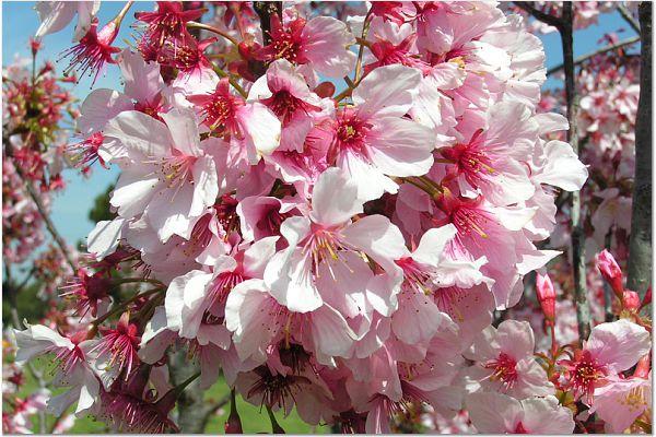 Sakura 0320 5