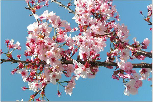 Sakura 0320 6