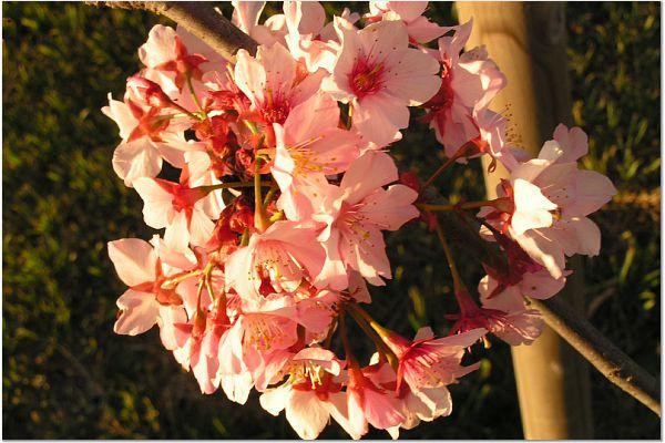Sakura 0320 11