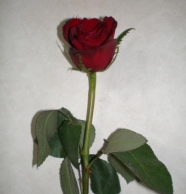 ジニのバラ 001