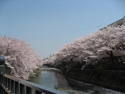 桜廻り11