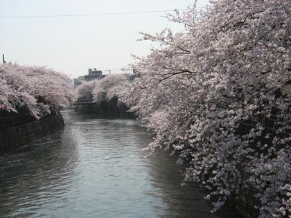 桜廻り12