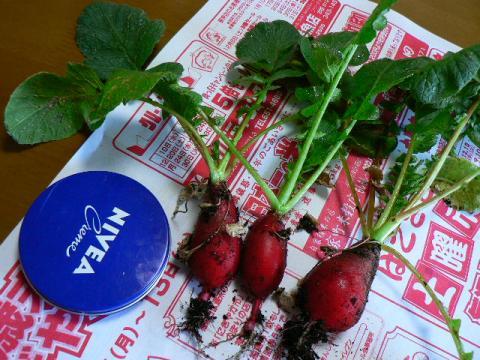 2008年12月1日収穫二十日大根