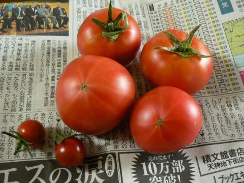 7月収穫のトマト