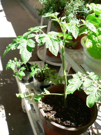 挿し芽で増やしたミニトマト