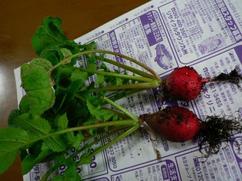 2008年11月23日収穫ラディッシュ
