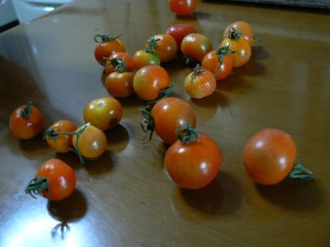べランダ産ミニトマト