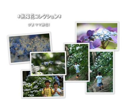 紫陽花コレクション[2]