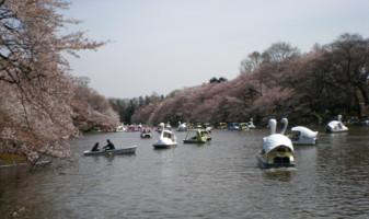 inokashira-hanami1.jpg